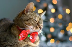 Christmas cat wearing a red bow tie with christmas tree on background.
